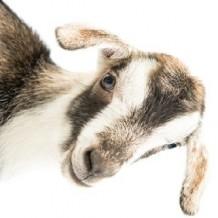 La chèvre obstinée : victime de qui ?